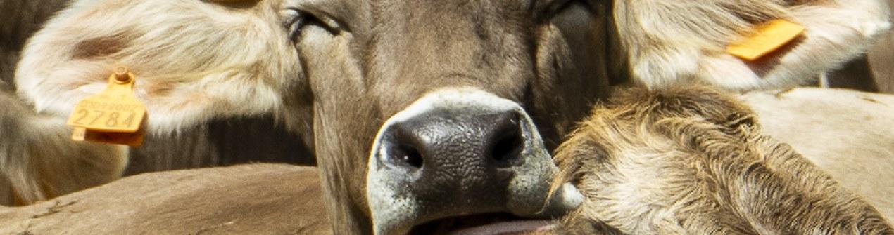 mucca valli genovesi.jpg